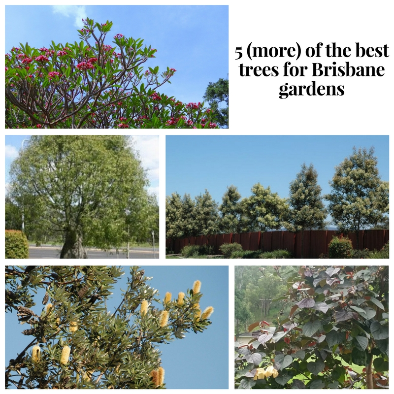 5 (more) of the best trees for brisbane.jpg