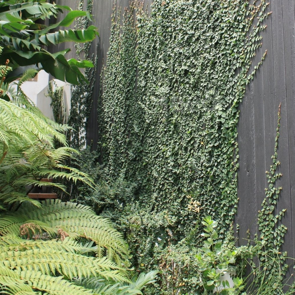 A striking way to visually break-up a large, flat surface such as fence is with a creeping vine