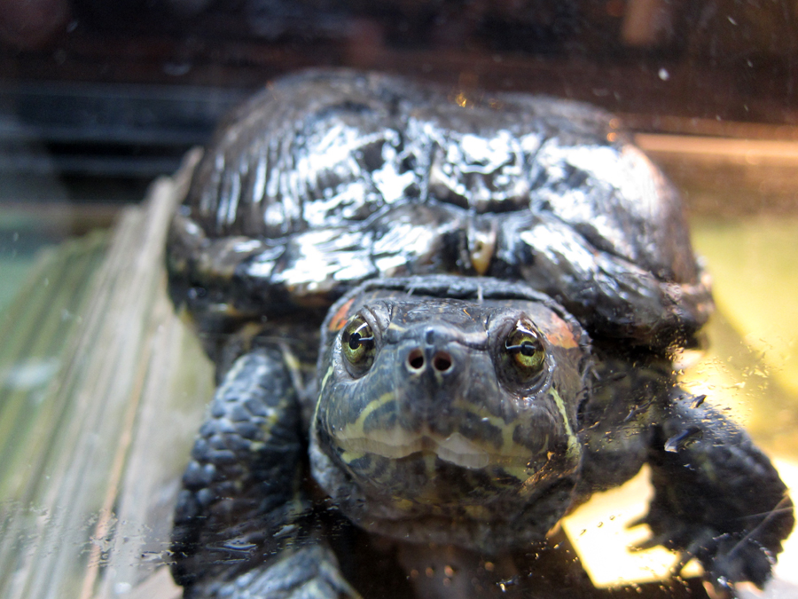 This red-ear slider turtle is about 80 years old! She's been passed down for 3 generations within a family.