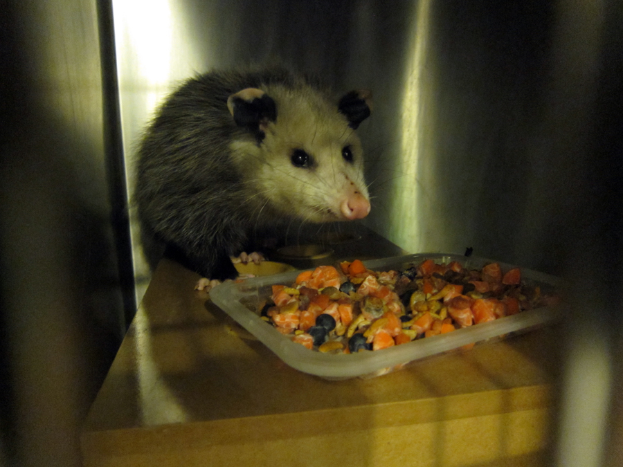 A opossum sits behind a plate of yummy food.