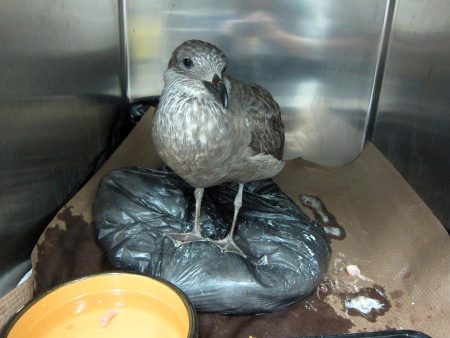 A curious gull.