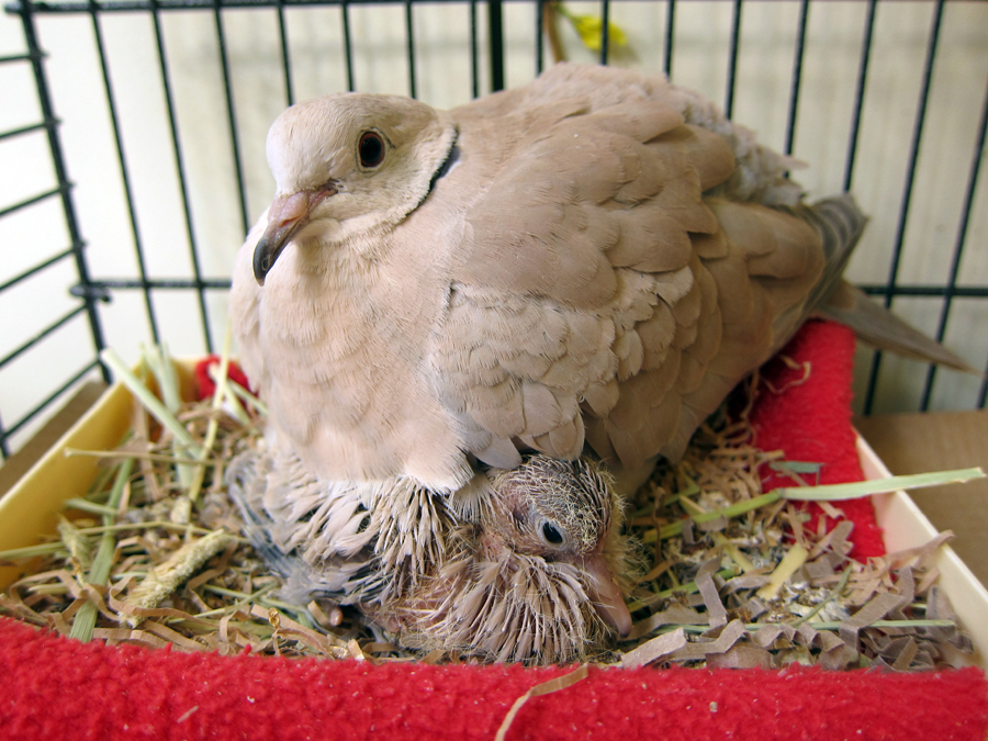 This morning dove and her mate hid a egg from the staff at the center and new resident hatched!