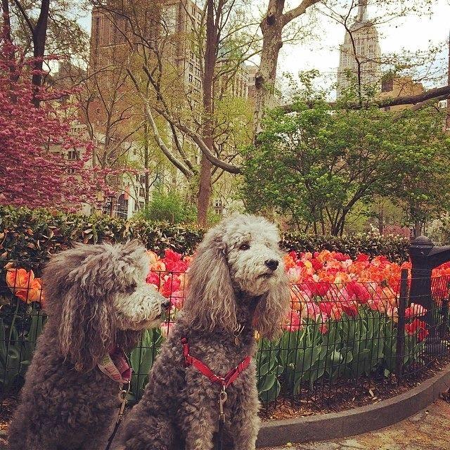 5 poodles tulips.jpg