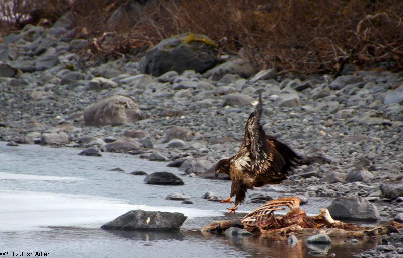 Golden Eagle inspecting a carcass at Portage Lake, Alaska.