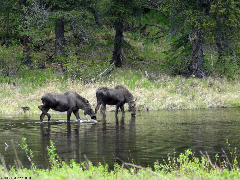 Driving Alaska : Moose by the road near the entrance of Denali National Park