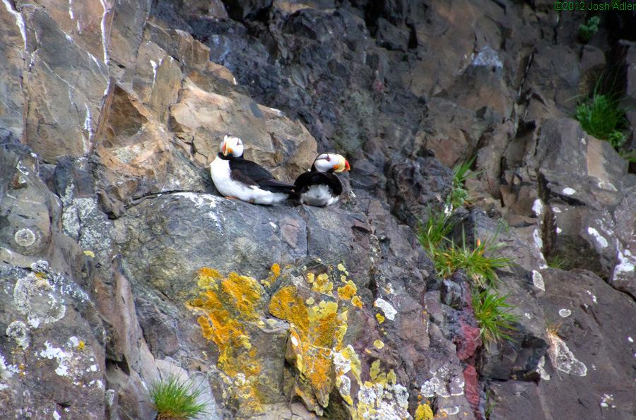 Horned Puffins, Kenai Fjords, Alaska