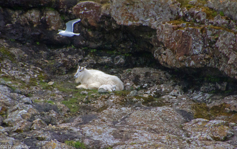 Mountain Goat with Kid, Kenai Fjords National Park