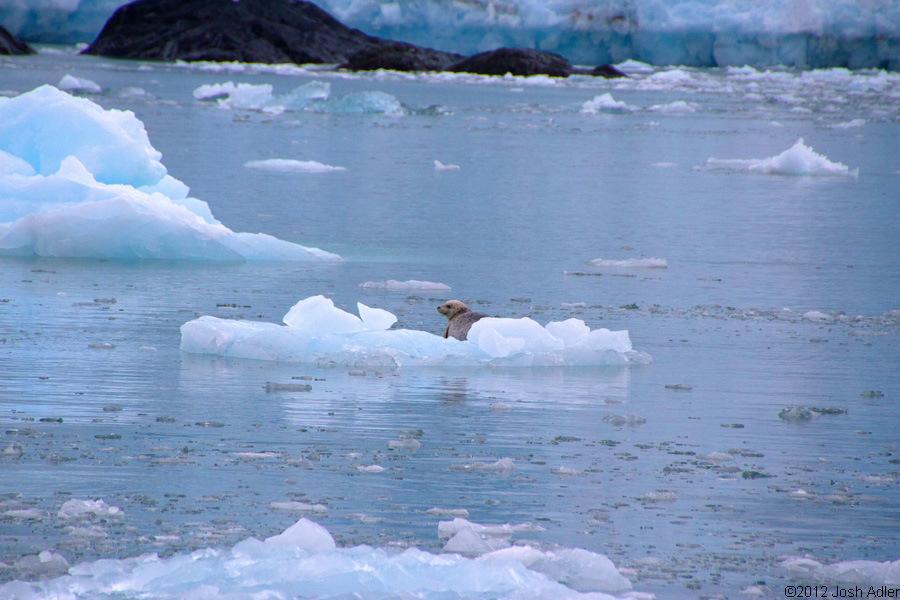 Seal on iceberg, Kenai Fjords National Park tour from Seward, Alaska