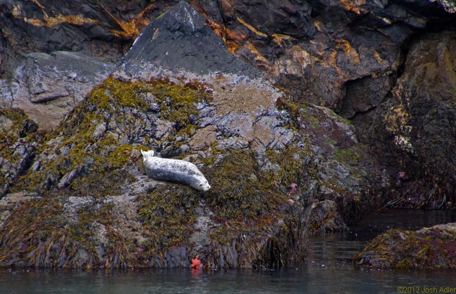 Seal, Kenai Fjords, Alaska