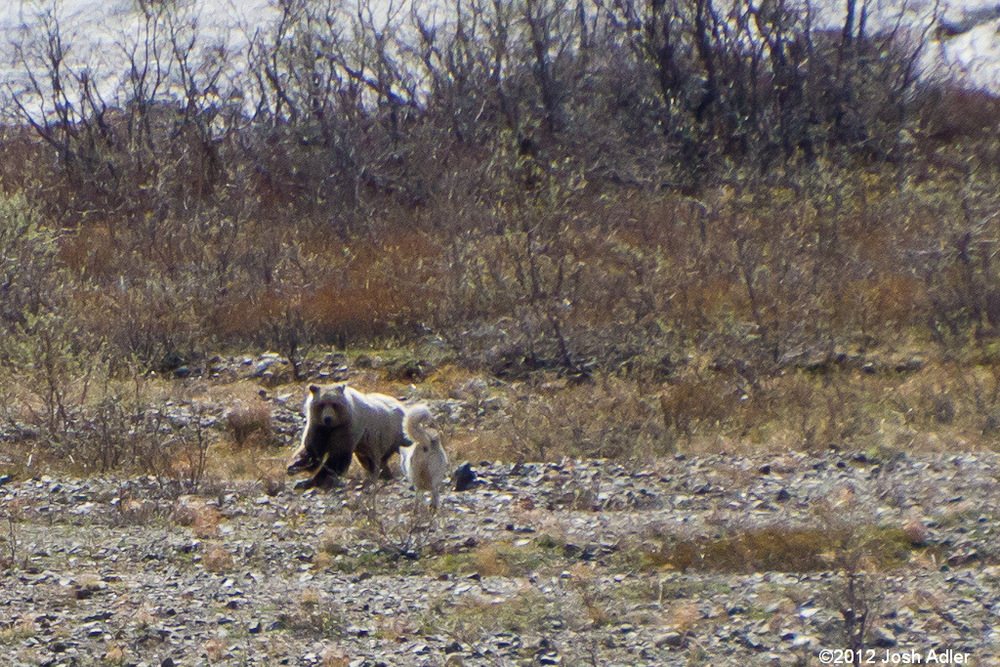 Bear versus wolf in Denali National Park.