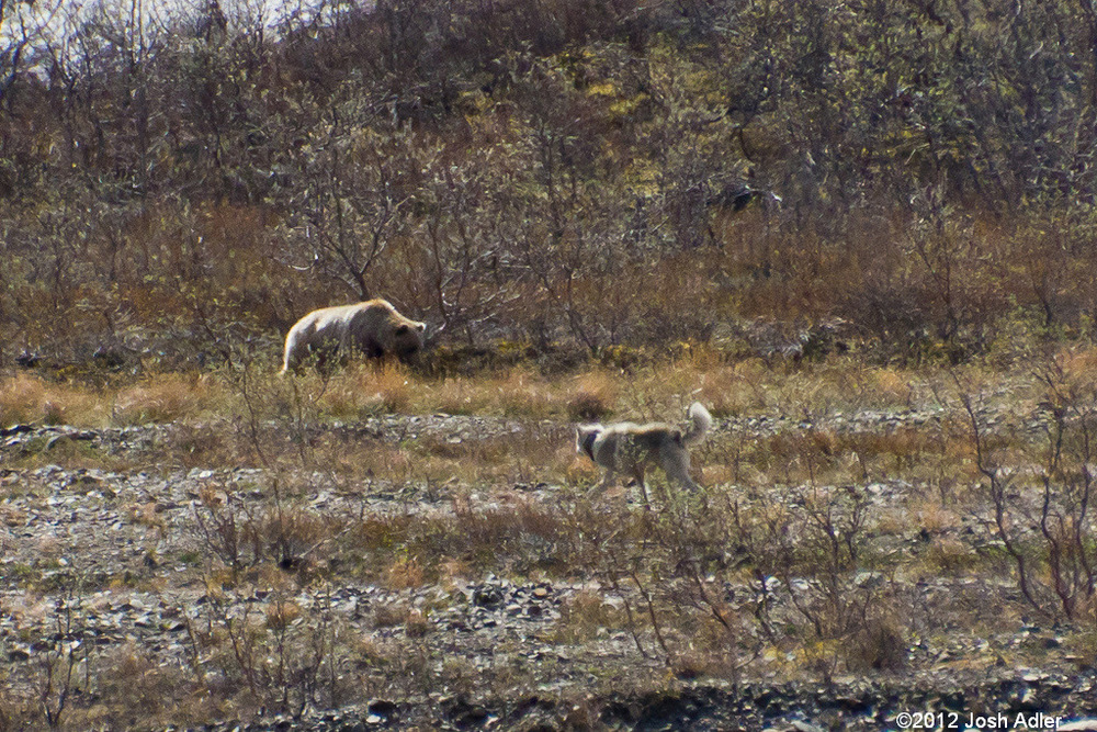 Wolf stalking unsuspecting grizzly bear in Denali.