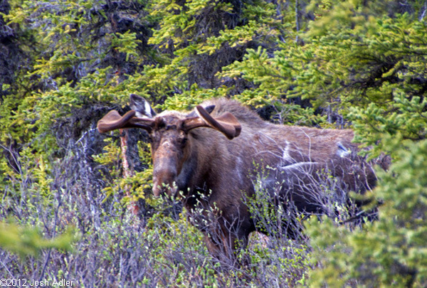 Moose in Denali.