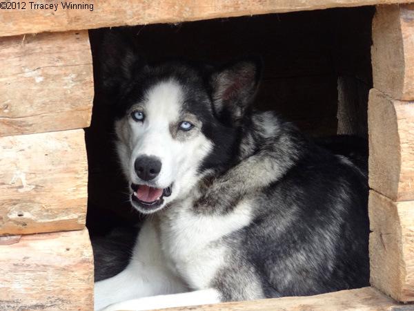 Sled Dog at Denali National Park