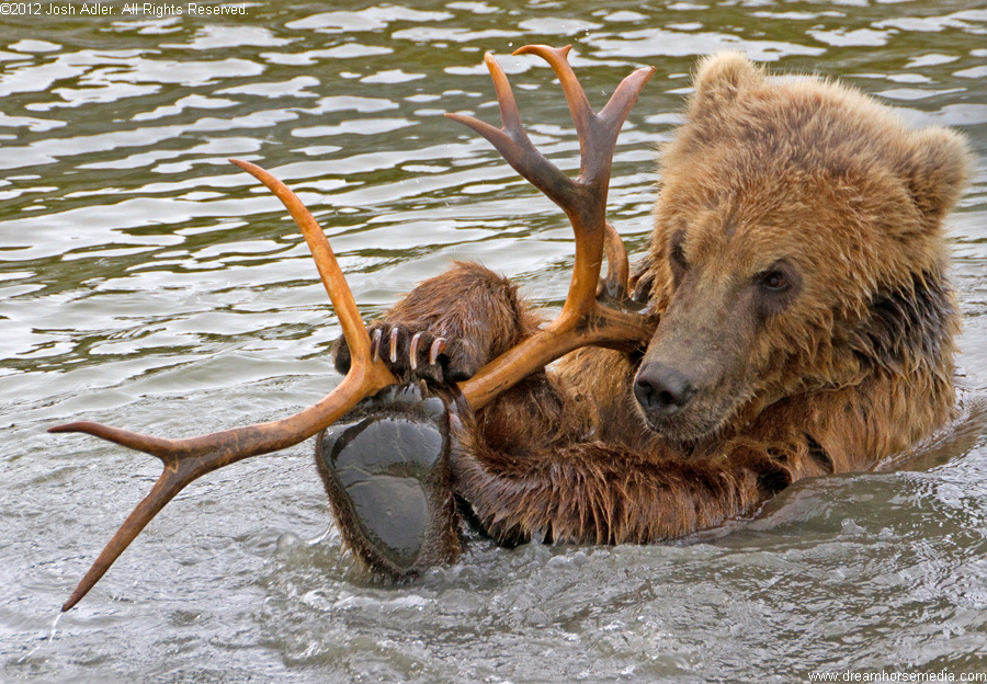 Taquka - Kodiak bear cub, Alaska Wildlife Conservation Center