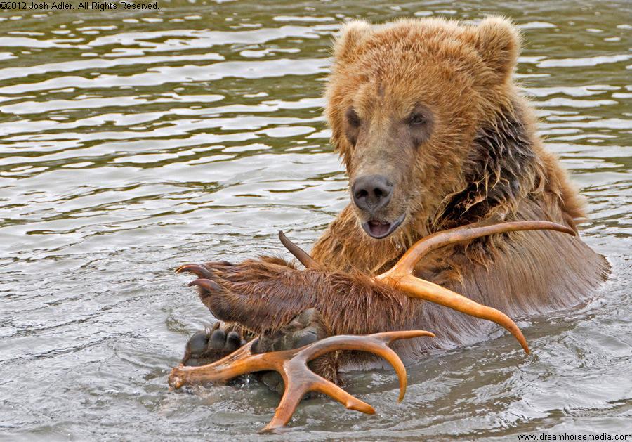 bear cub in water