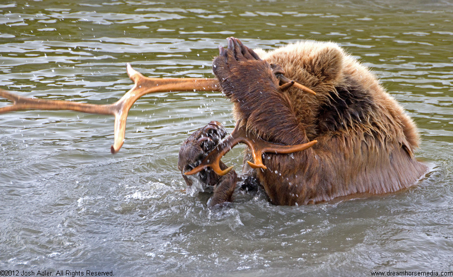 Taquka, grizzly bear
