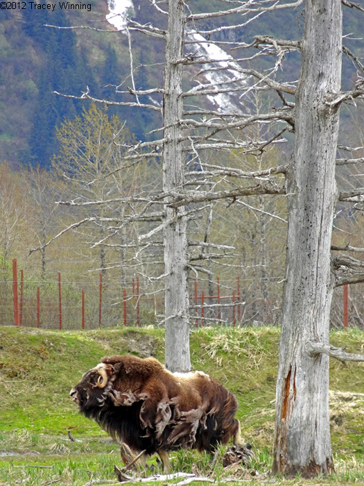 Musk Ox, Alaska Wildlife Conservation Center