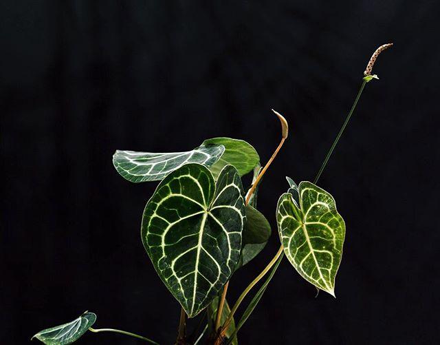 Anthurium clarinervium Matuda, dar žinomas kaip HOYA DE CORAZON.  Širdies formos aksominiai lapai su ryškiomis, sidabrinėmis gyslomis suteikia šiam augalui daug žavesio. Be to, įdomu, kad natūraliai jis auga tik Meksikoje, Čiapase ir tik 800-1200m aukštyje virš jūros lygio, laimei pas mus jam tokio aukščio nereikia:) Maža to, tai labai nereiklus augalas, galintis augti ir ten, kur mažai šviesos. . . .  #plants #plantshop #indoorplants #homeplants #soiree #vilnius #flowershop