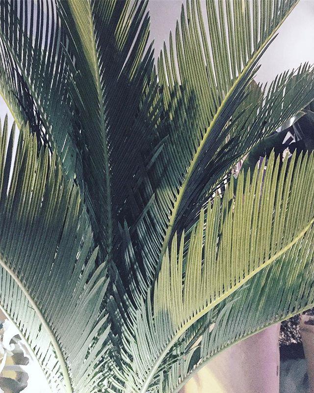 Daug šilčiau namuose kai palmės auga 🌴🌴🌞 #soiree #plantstudio #palmtree #palm