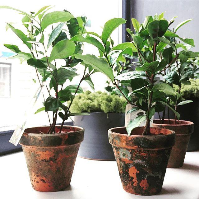 Gal arbatos? #arbatmedis #theasinensis #plants #plantsshop #soiree