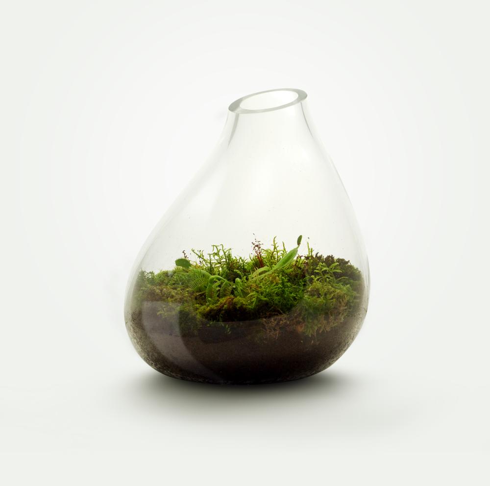 MIŠKO SAMANA + Musgaudis - Įeinantys augalai:  Drėgnų miškų samanos, Dionaea Muscipula.