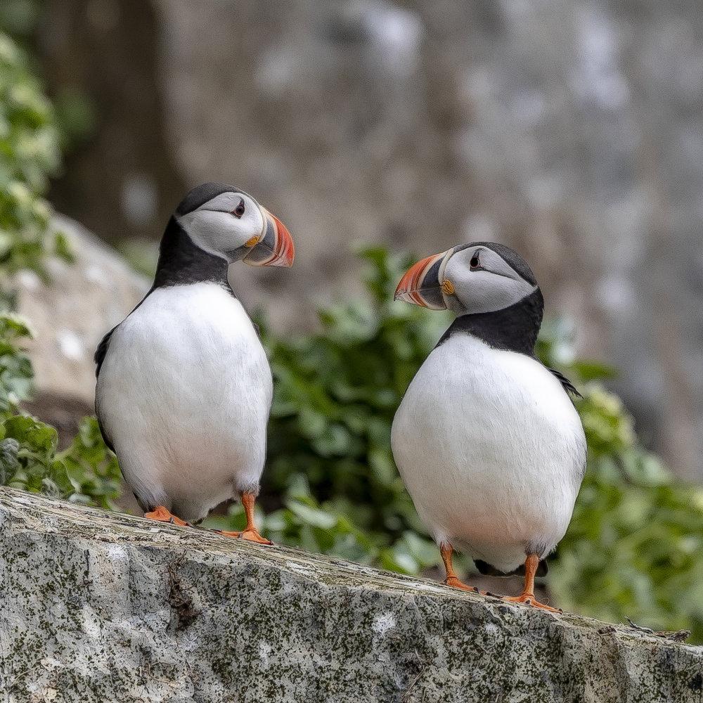 LUNDEFUGL: Over 7500 par lundefugl hekker øverst i fuglefjellet. Hvert par holder sammen for livet.