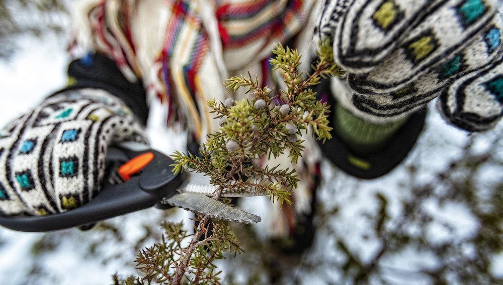 HELÅRS: Nordlysmat og Toril B.Kåven bruker einerbær og einerbar som smaksetting i geleer og krydderier, men også til desinfisering av kar ute på vidda. Denne vokser rett utenfor utmarksgården i Alta.