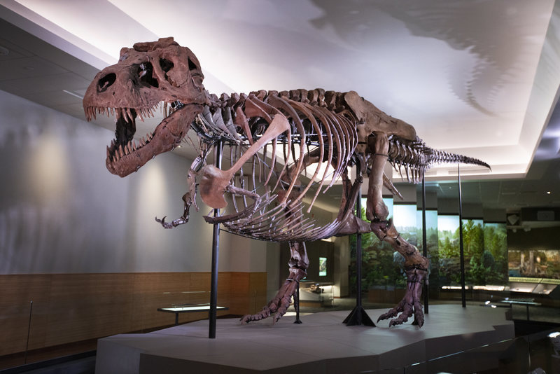 Sue the T. rex Just Got a Makeover - Atlas Obscura