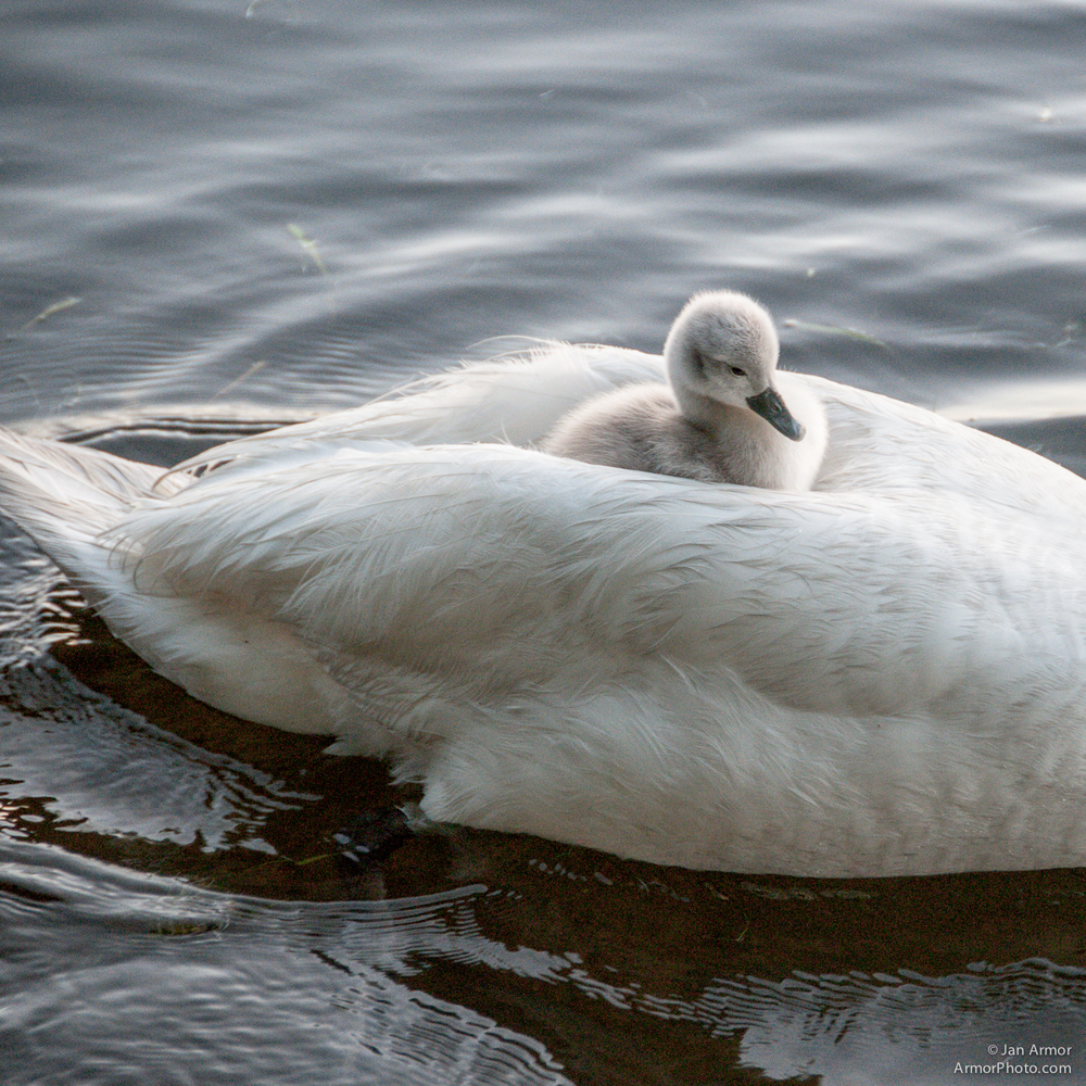 swans-7447.jpg