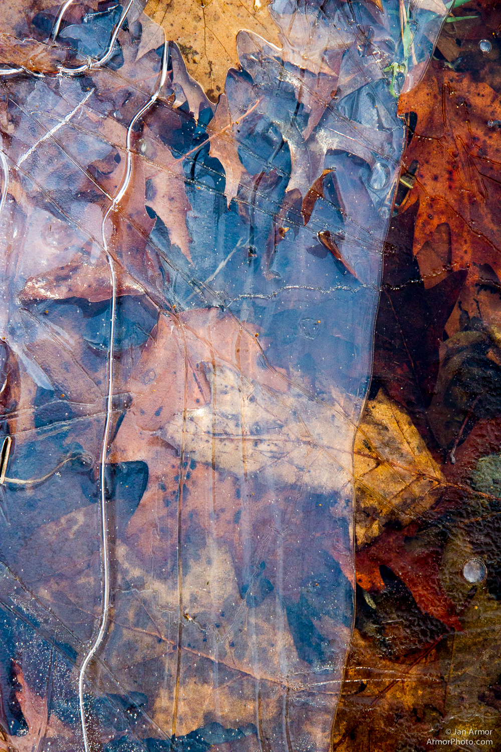 Leaves encased in the first ice.