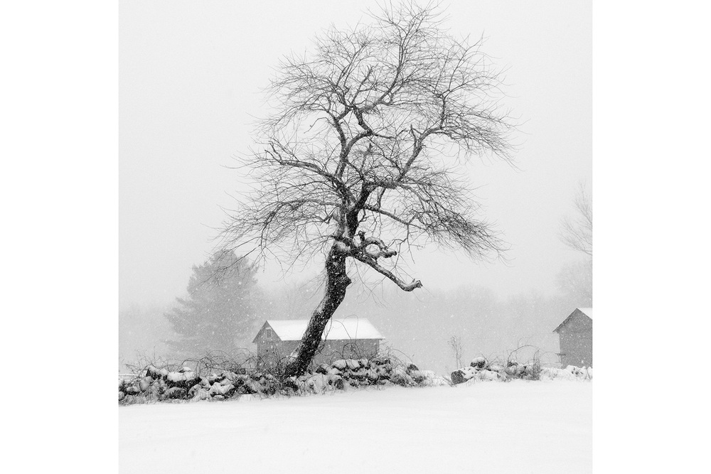 Saugatucket Tree