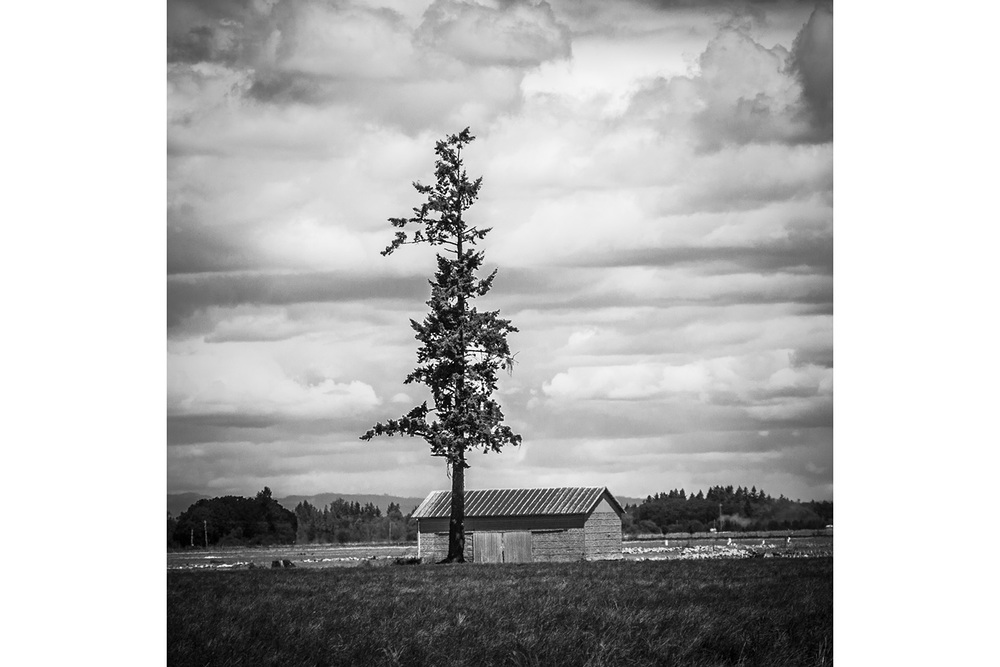 Tall Tree, Willemantic Valley,Oregon