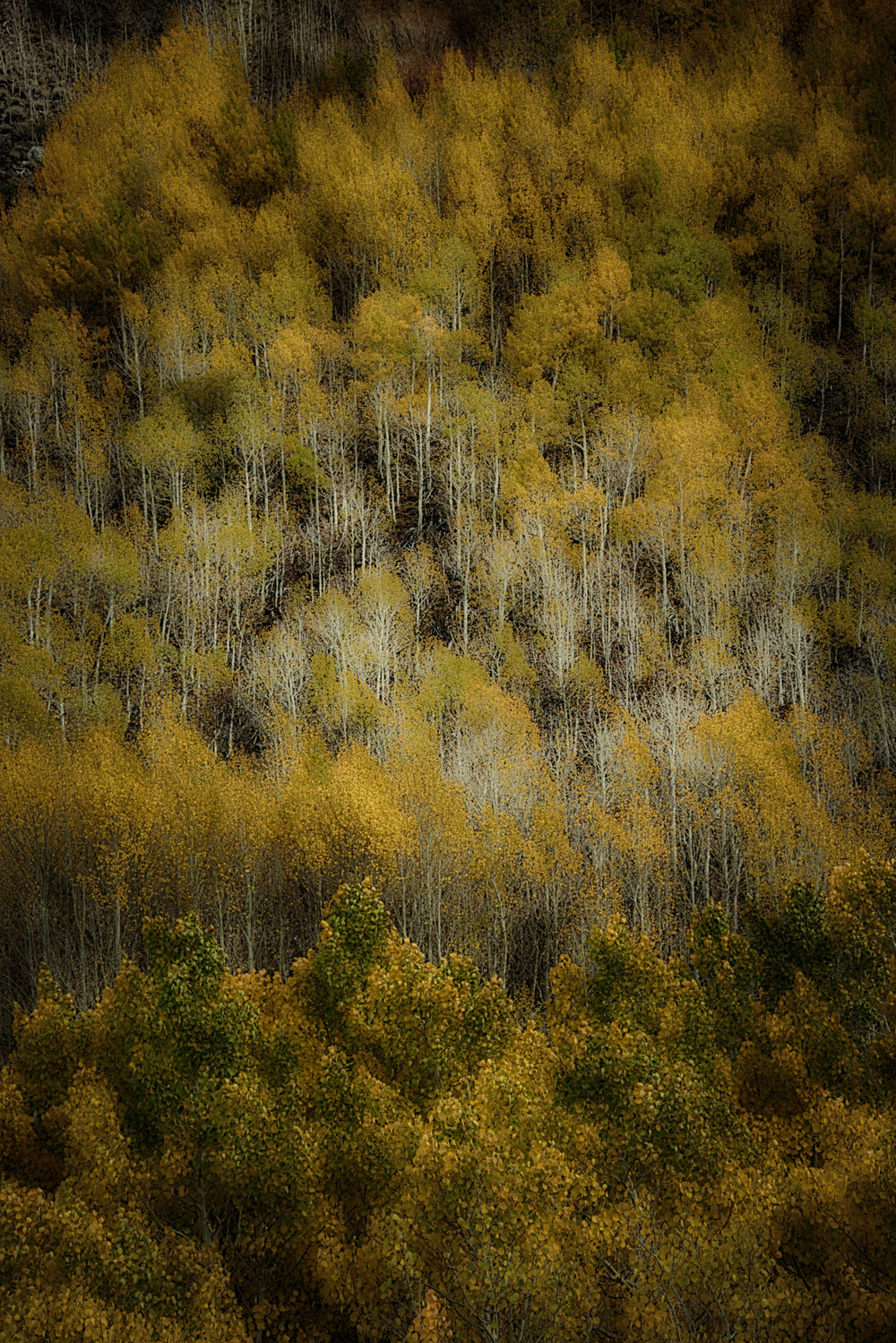 """Aspens"" by David Pinkham"