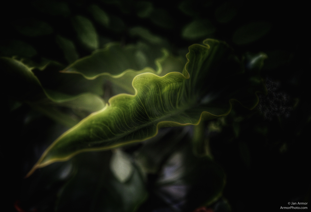 Calla Lily Leaves