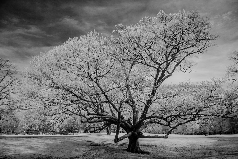 Ancient White Oak - North Kingstown