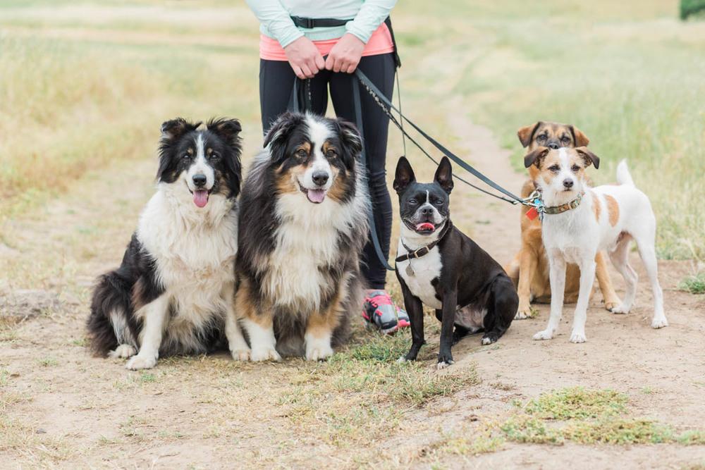 bonehemian wags dog walking