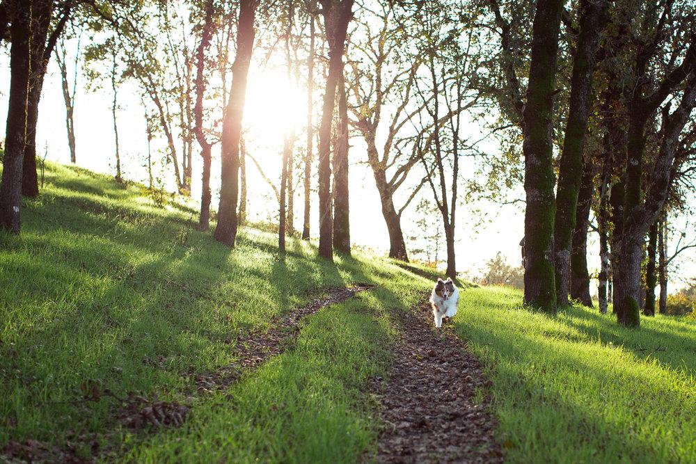 sheltie-running-through-trees-Sonoma-pet-photographer-maria-villano-photography
