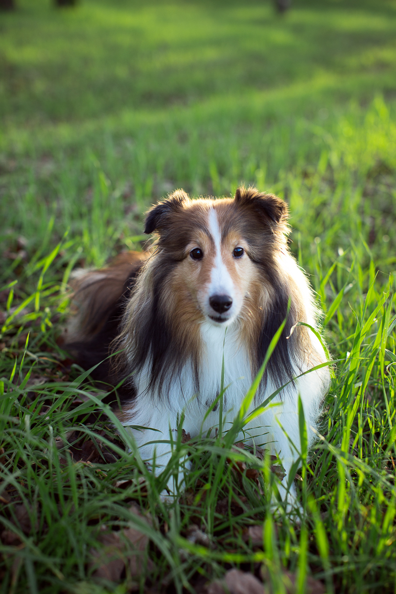sheltie-sitting-in-grass-Sonoma-pet-photographer-maria-villano-photography