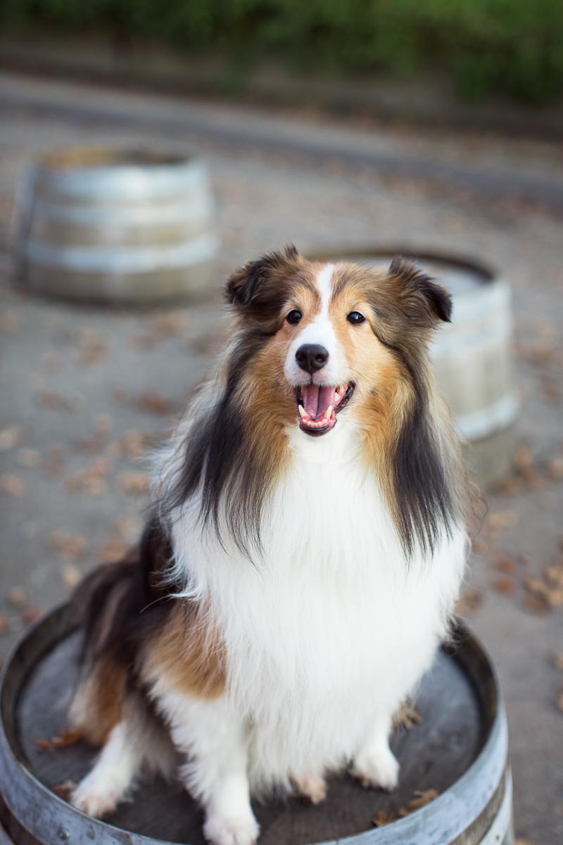 sheltie-sitting-on-wine-barrel-Sonoma-pet-photographer-maria-villano-photography