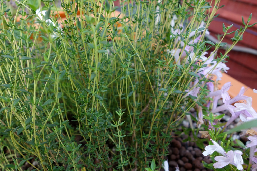 Thyme and Mexican Oregano
