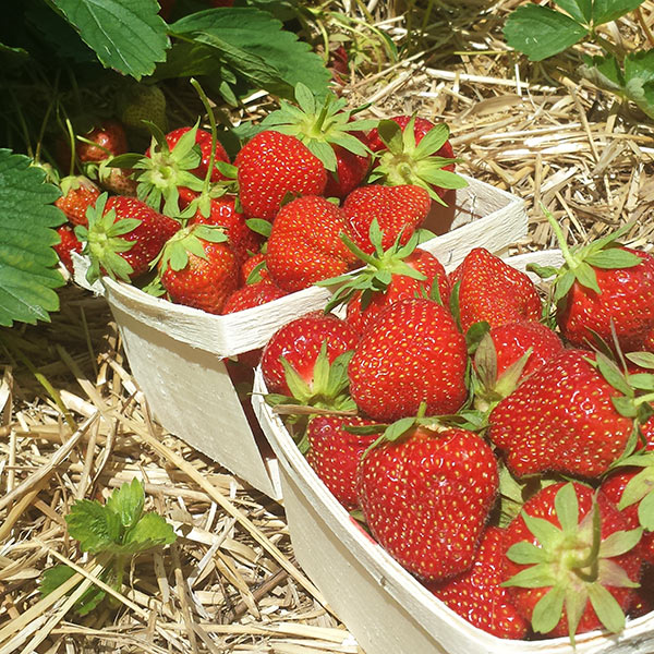 My strawberry harvest
