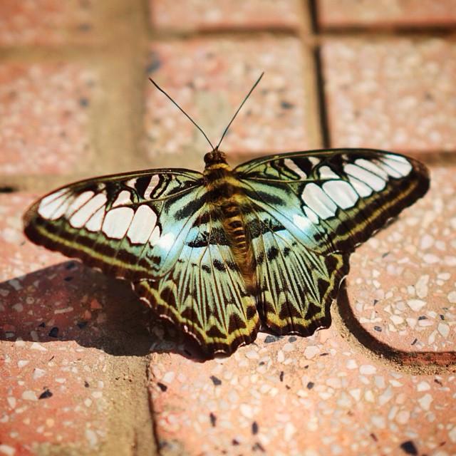 #butterfly #vietnam