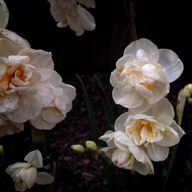 #daffodils #spring