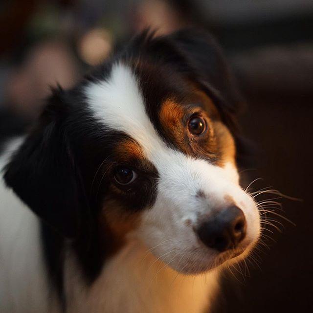 Archie, the most handsome dog on earth.  #aussiesofinstagram #dogsofinstagram