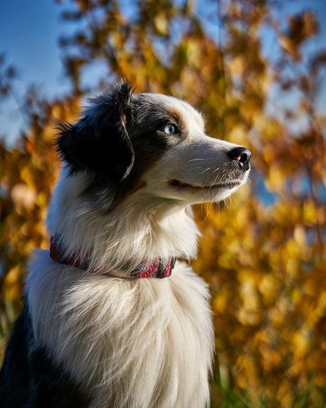 Theo watching the geese take flight...without chasing them. Yay for choice based dog training! #itsyerchoice #recallers #susangarrett #sayyesdog #wilderdog #maplecollar #miniatureamericanshepherd