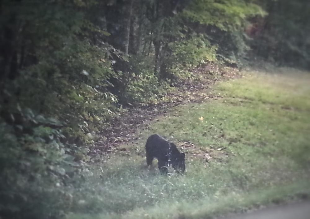 A bear! A bear! I saw a bear!