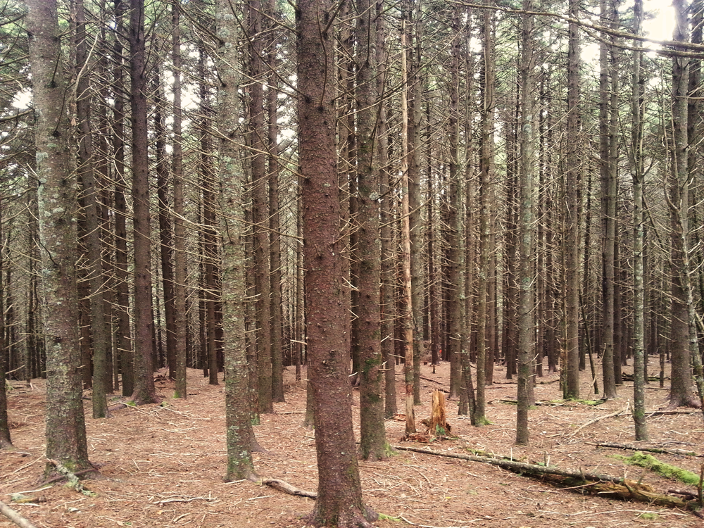 The conifer forest: eerie, disconcerting, and yet somehow it takes hold of you and doesn't let go.