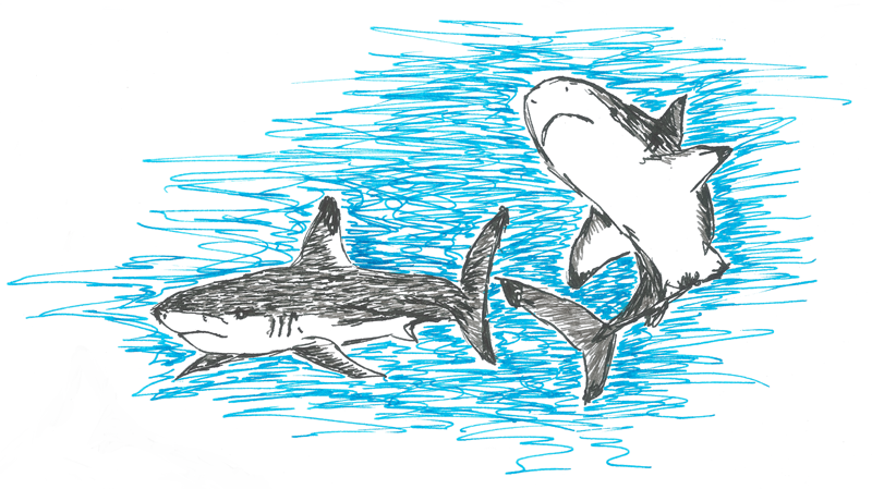 Blacktip reef sharks, pen sketch