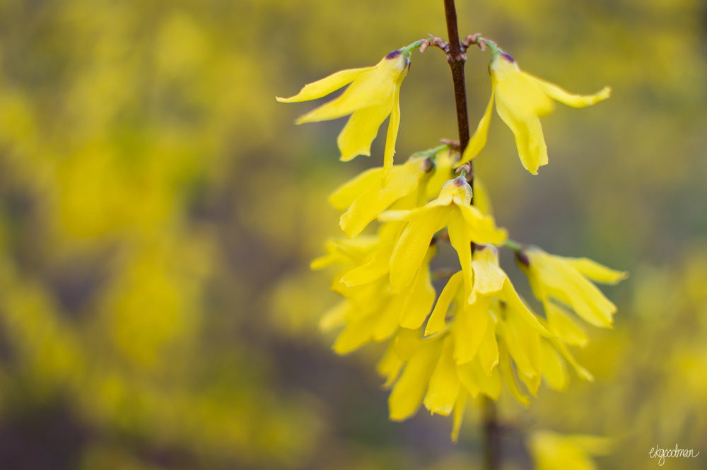 Did you know that forsythias are in the olive family?