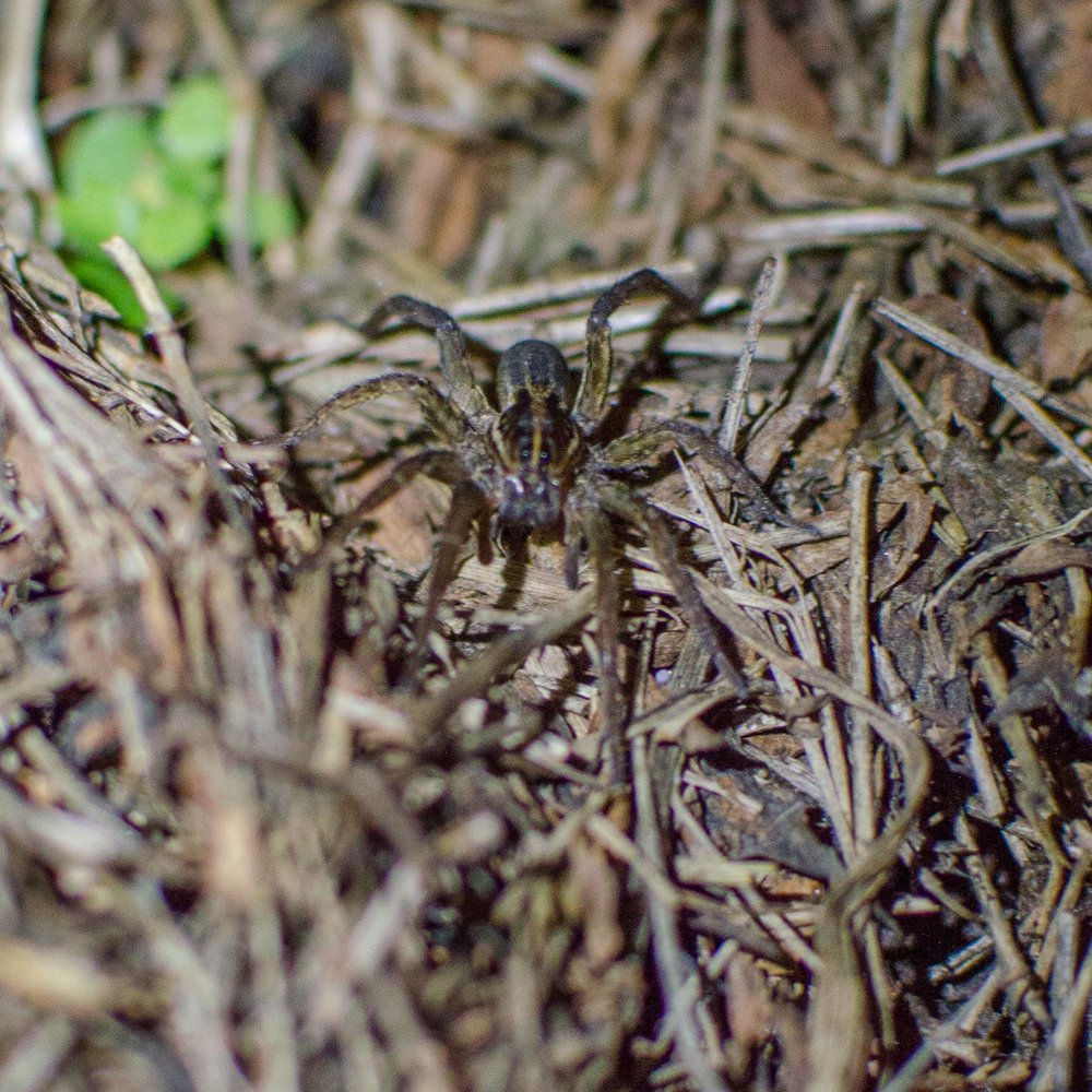Carolina Wolf Spider - not the best shot since I don't have a macro lens, but you get the picture. Heh.